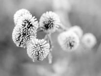Fototapeta  Salon 70  - Kwiat , mlecz , czarno biały , zima
