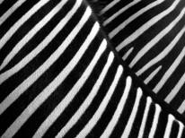 Fototapeta do kuchni 42 - zebra, pasy, zwierze, afryka