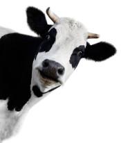 Fototapeta do kuchni 47 - krowa, mleko, zwierze