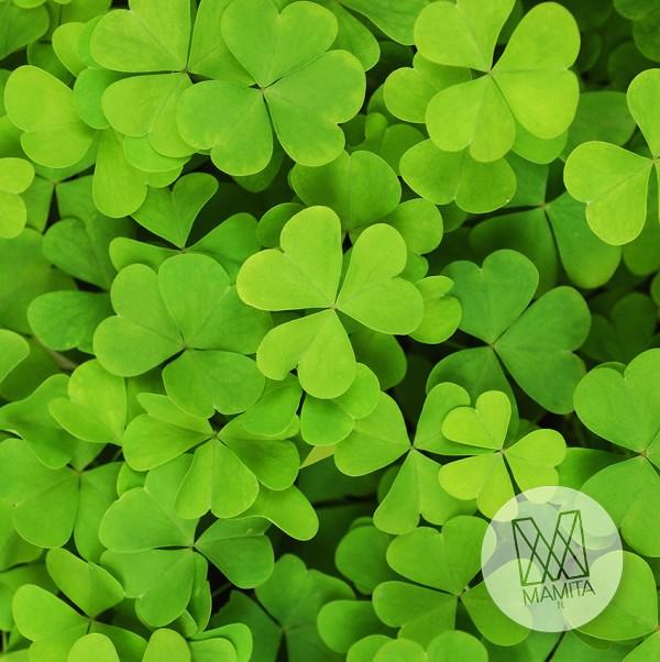 Fototapeta do kuchni 99 - koniczyna, zielona, listki